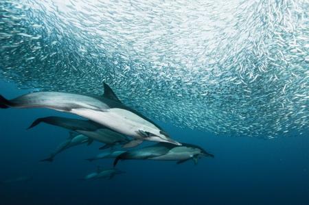 Photos: Dolphins enjoy sardine feeding frenzy