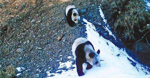 Panda 'love corridor' under threat