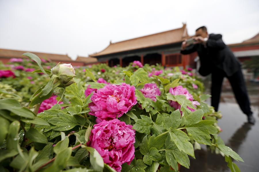 Palace Museum stages peony flower-themed exhibition