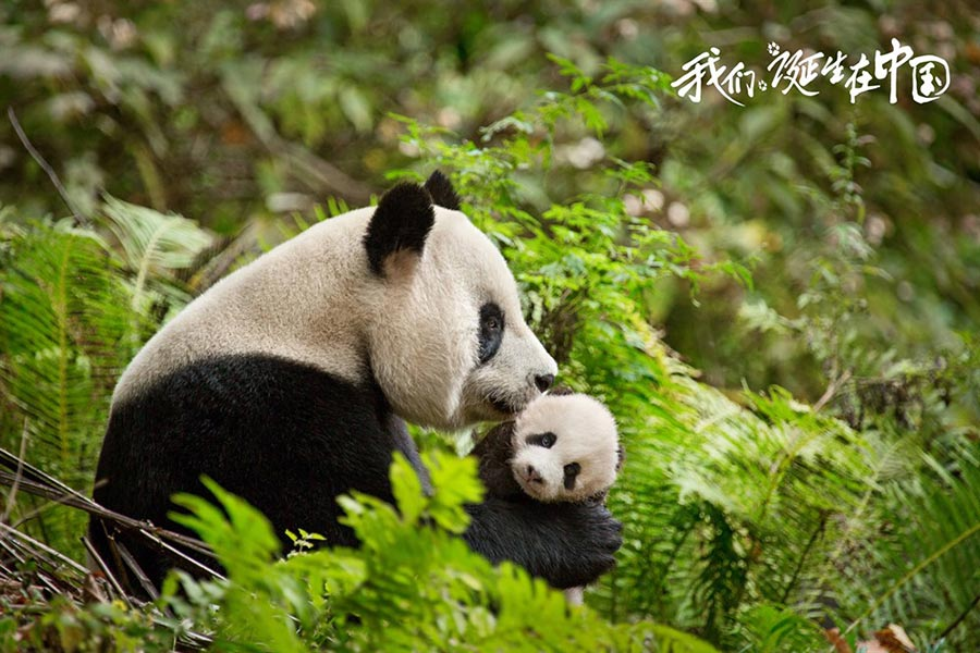 Disneynature's 'Born in China' to hit theaters on Aug 12