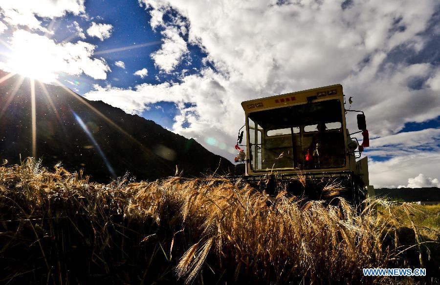 Tibet expected to witness bumper harvest