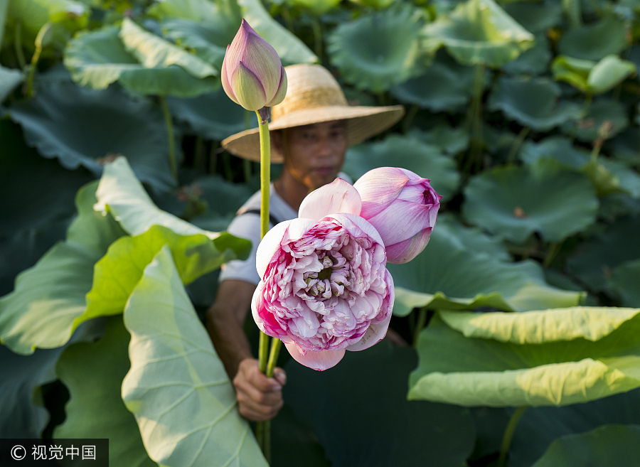 ornamental lotus flowers grow farmers earnings 20 times 1
