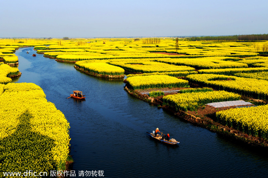 top 10 canola flower attractions in china 9 chinadaily com cn