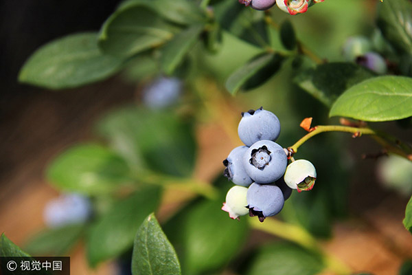 Chinese blueberries attract attention at international gathering
