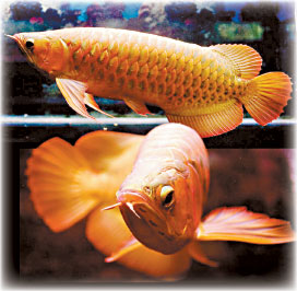 how to grow arowana fish faster