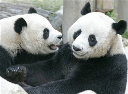 This file photo dated 03 September, 2005 shows two giant pandas on loan to ...