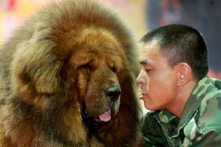 A Tibetan mastiff and its
