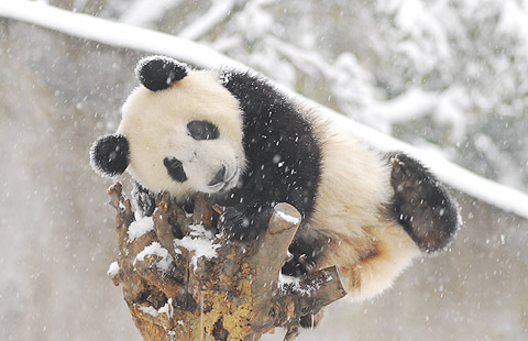 Panda cubs playing in snow - photo#13
