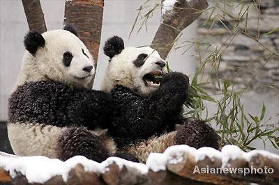 Taiwan cities 'fighting' to host mainland pandas