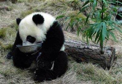 Panda bite - photo#42