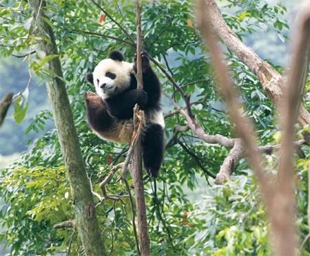 panda wild training