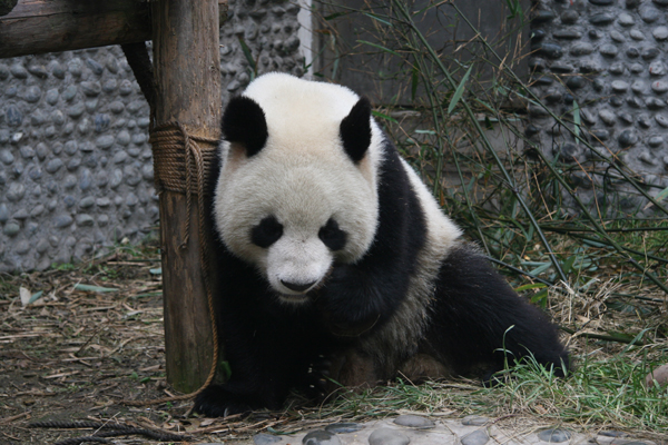 Chengdu Pandas settle in France