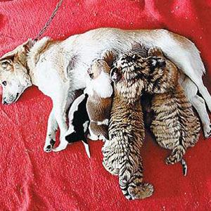梦见狗吃人奶