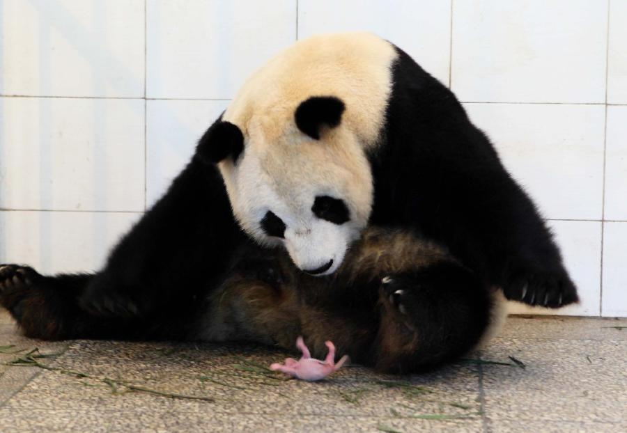 giant panda baby born in sw china3 chinadailycomcn