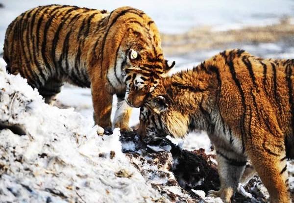 Putin's tiger keeps Chinese reserve on tenterhooks