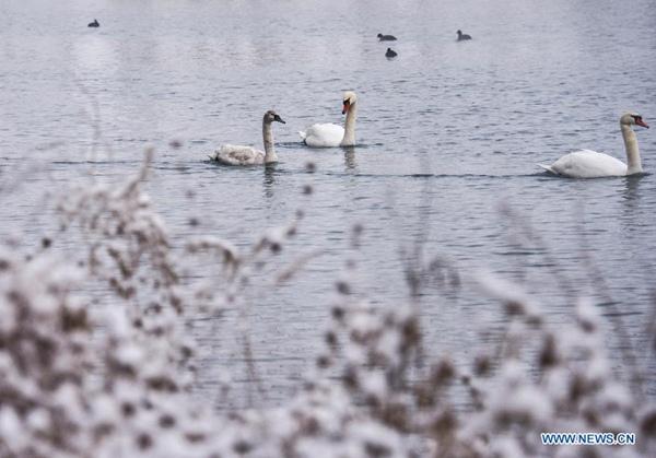 Migratory birds at Swan Spring Wetland[7]- Chinadaily.com.cn