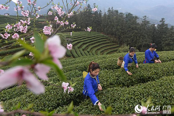 Tea farmers pick up first batch of spring tea in South China[4