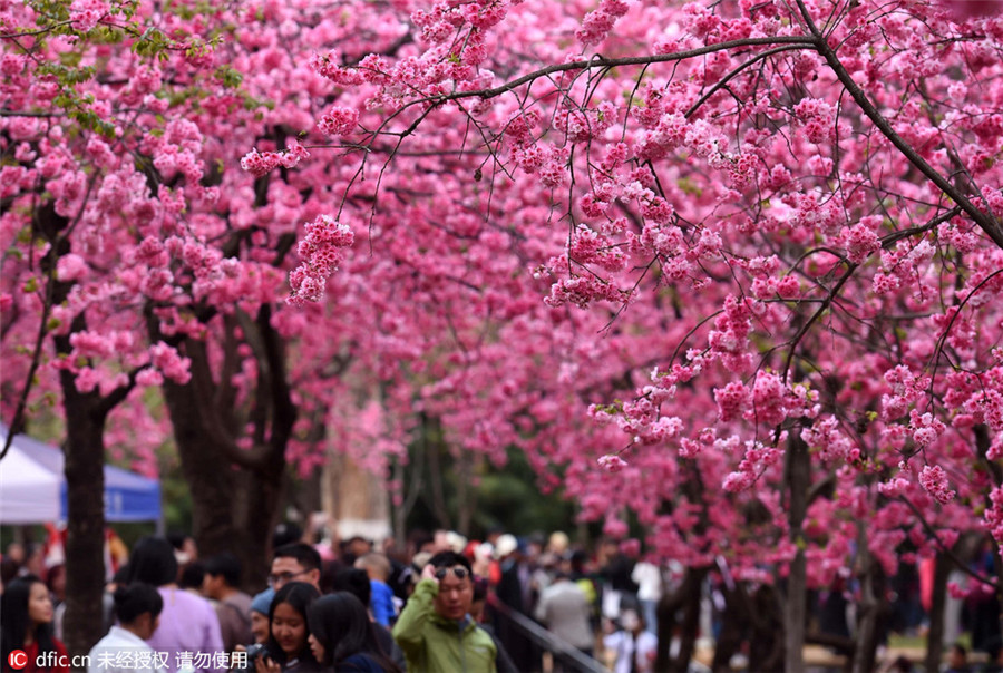 cherry blossoms signal arrival of spring 1 chinadaily com cn