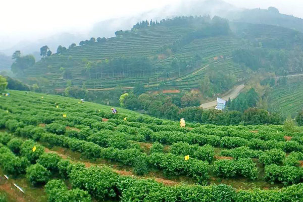 Tea industry china