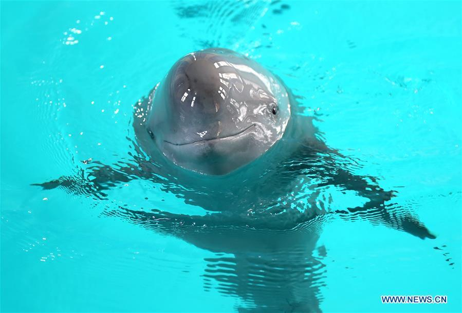 685f3e6f7d66 Endangered finless porpoise swim in Wuhan 1 - Chinadaily.com.cn