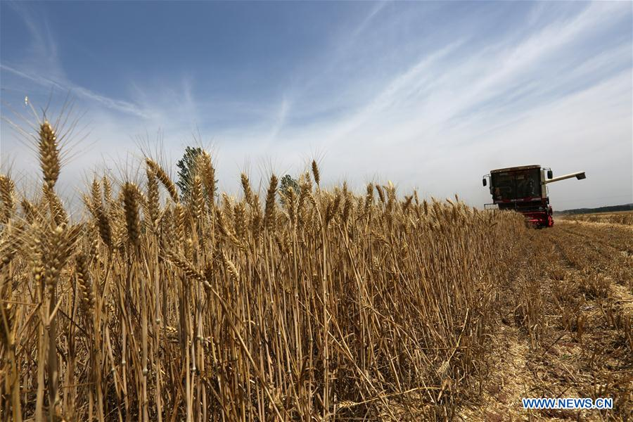 Rizhao China  city photo : Reapers harvest wheat in Rizhao, China's Shandong[3] Chinadaily.com ...