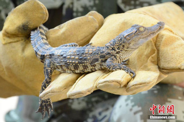over 900 baby crocodiles found in southern china china