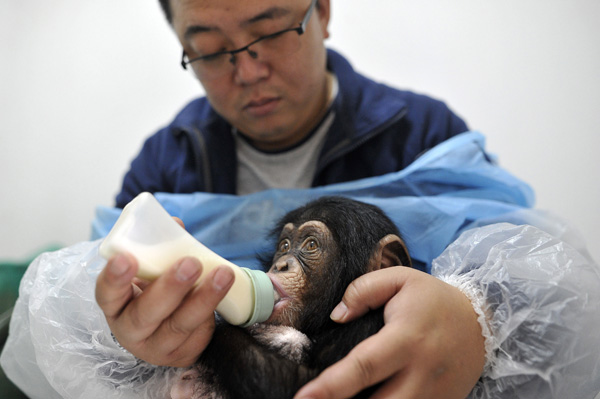 Baby chimpanzee loves her 'mannies' - China - Chinadaily com cn