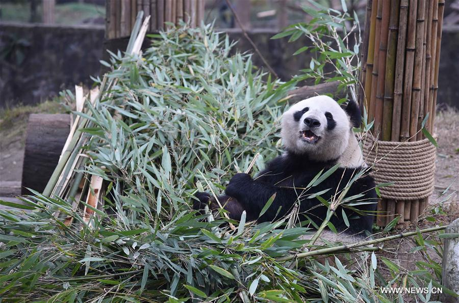 Nursing home for aged pandas in Sichuan[1]- Chinadaily.com.cn