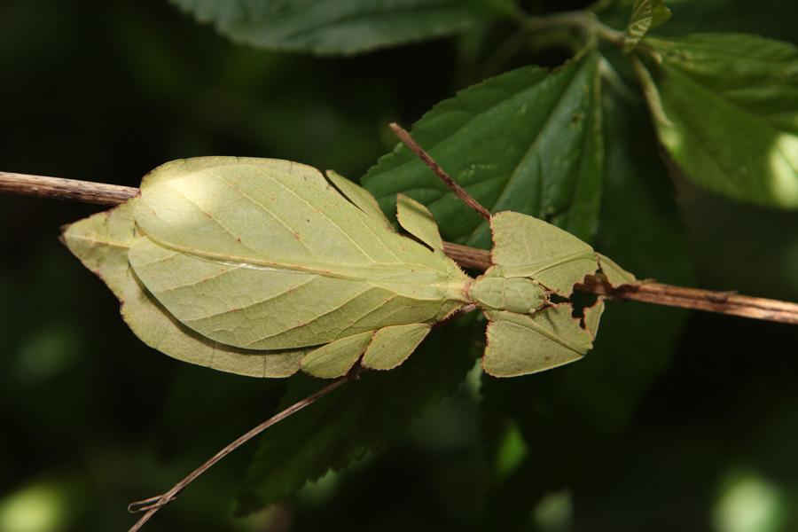 Bug that looks like a twig 10