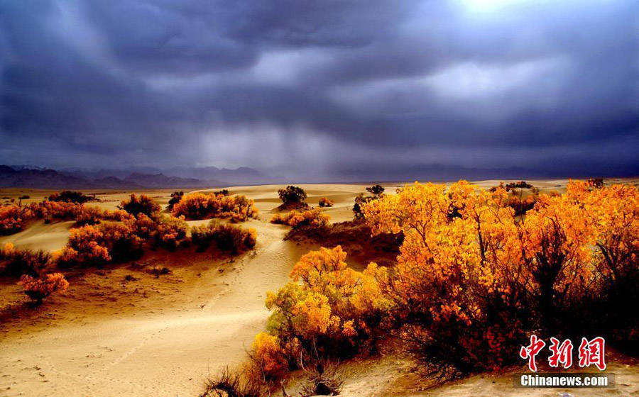 Desert poplars at sky-high altitude add color to autumn[1 ...