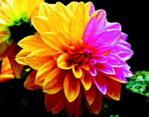 Fascinating Two Colored Dahlia