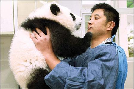 Pandas may find traveling hard to bear