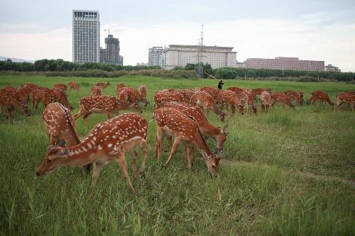 包头市赛罕塔拉城中草原里,近百只鹿在悠闲地吃草(7月20日摄).