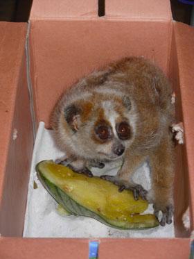 云南野生动物园连夜营救蜂猴; 连夜营救蜂猴 蜂猴撒泼咬伤恩人(图)