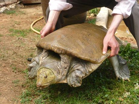 云南野生动物园收容巨型孔雀鳖