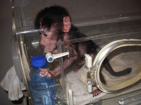 遭母亲遗弃 狒狒宝宝出生就进保温箱图片
