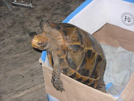 云南野生动物园收容国家二级保护动物凹甲陆龟