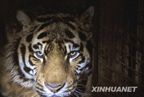 11只东北虎死亡 沈阳森林野生动物园停业整改