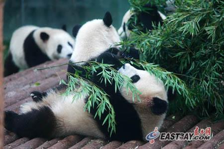 壁纸 大熊猫 动物 450_299