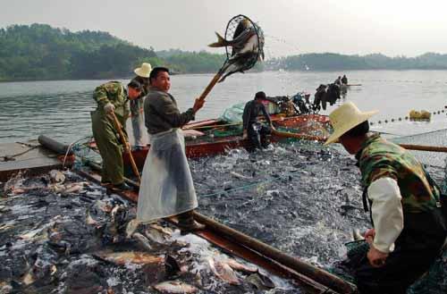 河南/河南商城:渔业养殖喜获丰收