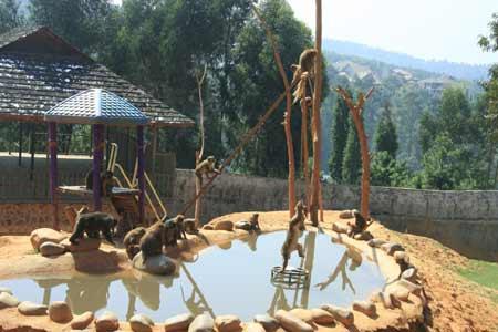 云南野生动物园的猴子捞月