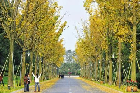 而其他落叶的槐树,杨树,梧桐树则一年一落叶,树叶上积累了大量尘土