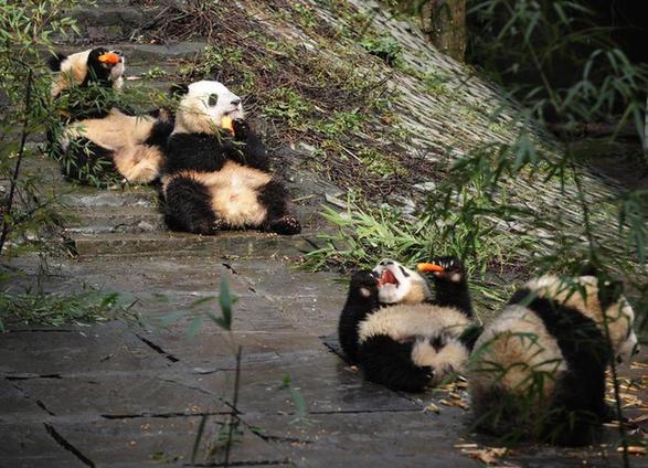 11月17日,幼儿园的幼年熊猫集体在阳光下用餐。位于四川省雅安市的中国保护大熊猫研究中心碧峰峡基地里有一所特殊的熊猫幼儿园,基地的工作人员在这里照料着十多只断奶后的幼年熊猫。入冬的中午迎来久违的阳光,幼年熊猫们集体出动晒太阳,个个懒洋洋的躺倒在地上吃着工作人员准备好的营养午餐,憨态可掬的模样引来游客们的阵阵欢笑。新华社记者李桥桥 摄