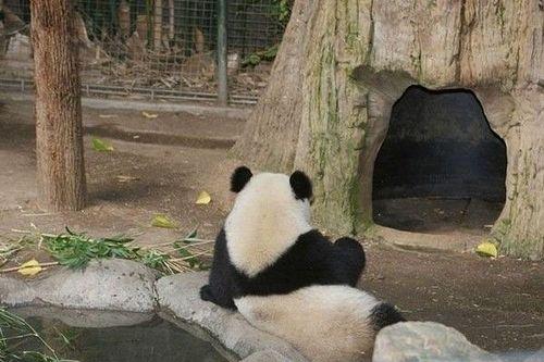 熊猫图片 可爱 背影