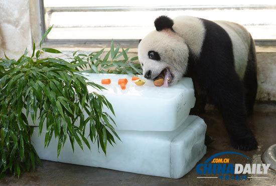 7月23日,武汉动物园内的一只大熊猫正在冰上享受美食.