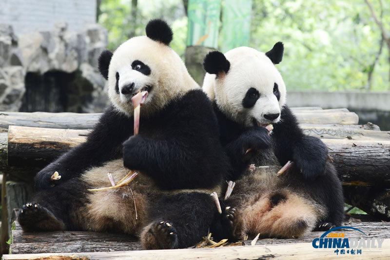 杭州动物园为大熊猫举办生日会