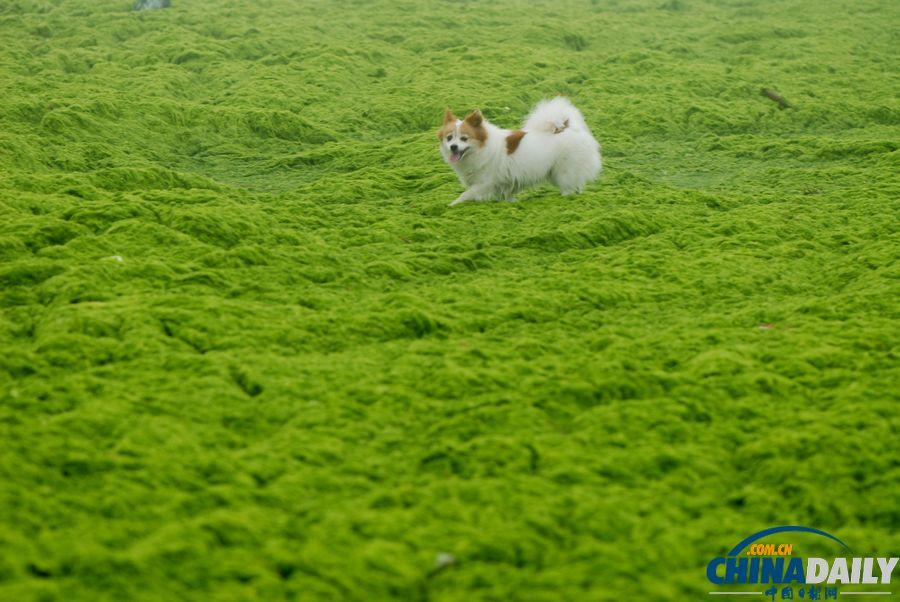 一起去青岛看草原!浒苔入侵海水浴场沙滩变草原