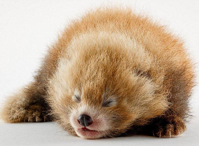 英国动物园网晒稀有红熊猫宝宝萌照(组图)