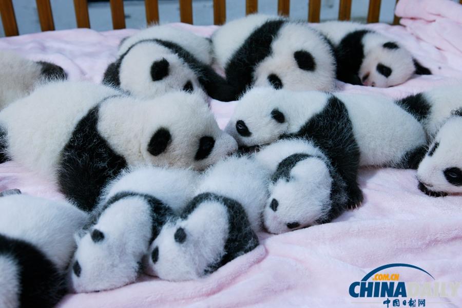 成都2013年新生大熊猫宝宝集体亮相[8]- 中国在线
