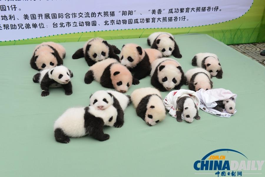 2013年9月29日,四川雅安,中国保护大熊猫研究中心碧峰峡基地今年出生的大熊猫宝宝集体亮相。 2013年,中国保护大熊猫研究中心按照2013年全国圈养大熊猫繁殖配对计划统一部署,周密安排,保证了大熊猫繁殖工作的顺利开展。今年,研究中心共繁育大熊猫18胎24仔,成活20仔(其中包括雅安碧峰峡基地13仔,核桃坪野化培训基地4仔,广东番禺动物园1仔,美泉宫动物园1仔,华盛顿动物园1仔),创下繁育新纪录,为野化放归培训梯队提供了充足的种群个体。 实习编辑 夏雪
